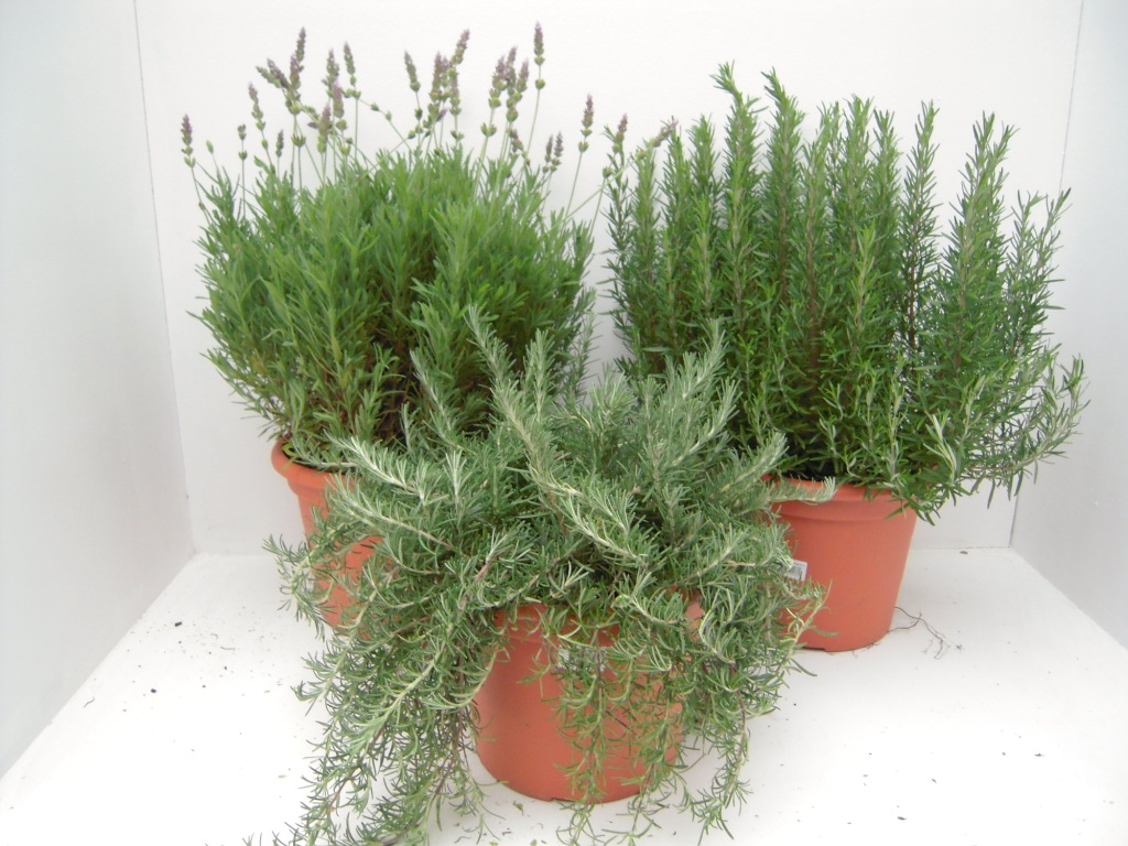 Universo jard n mundos de plantas y flores 04 01 2012 - Jardin de aromaticas ...
