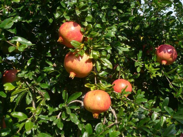 Planta de granado viveros alcaplant for Arbol granada de jardin