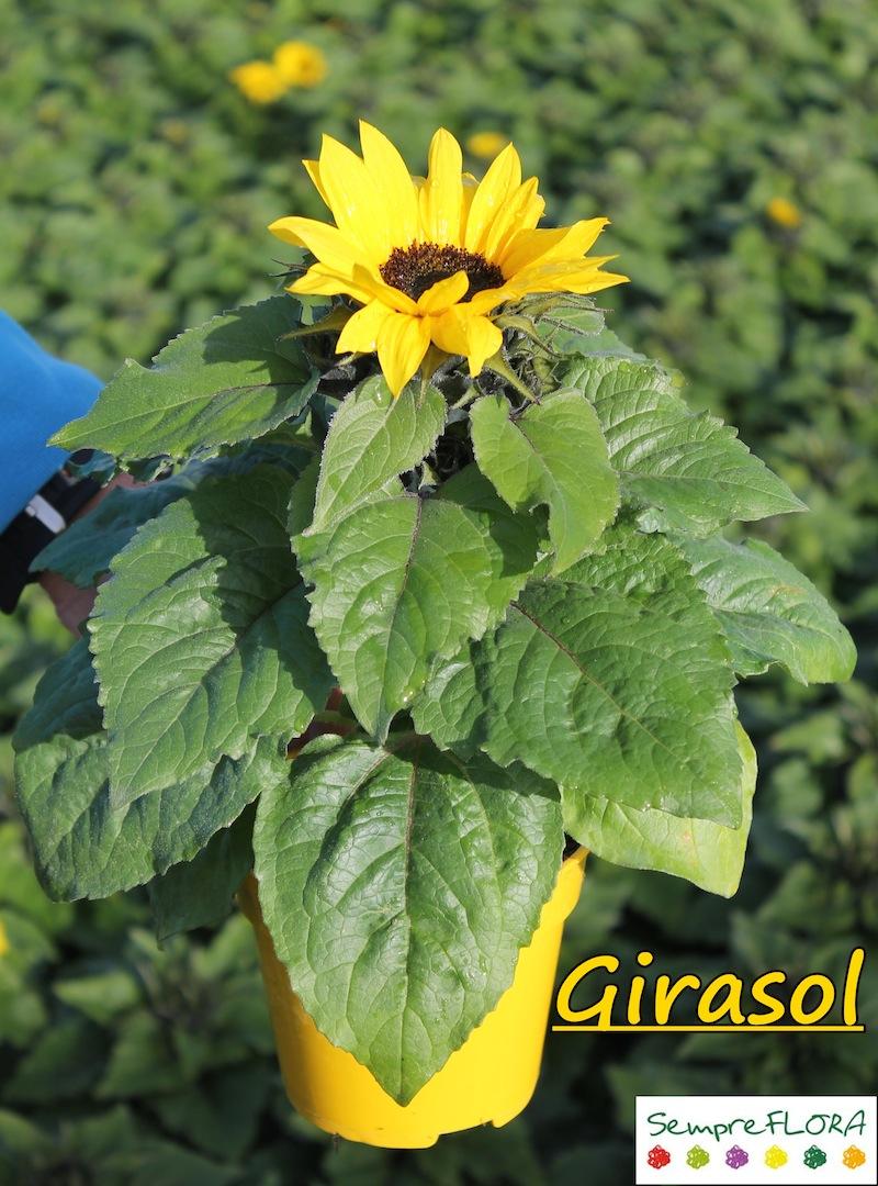 Girasol sim tejedor cultius sempreflora for Hojas ornamentales con sus nombres