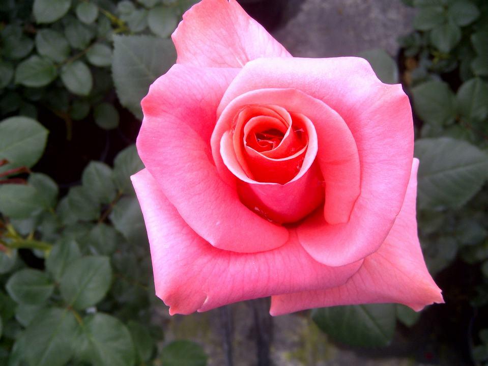 Rosal grandiflora viveros bermejo - Viveros bermejo ...