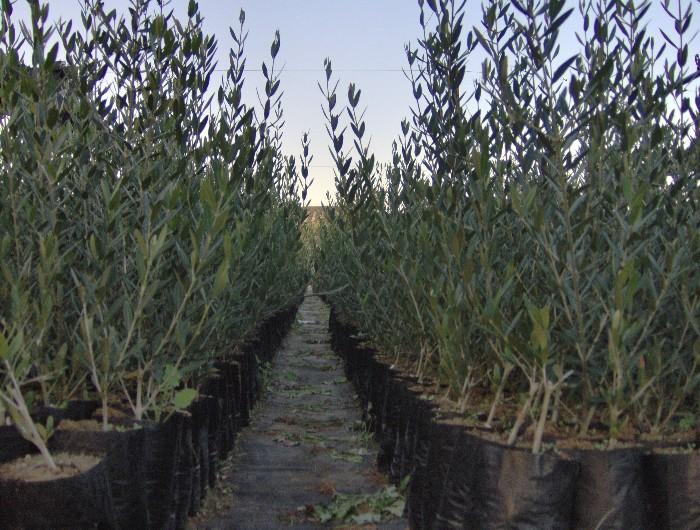 Plantas de olivo viveros de olivo agrocorpas for Viveros de olivos