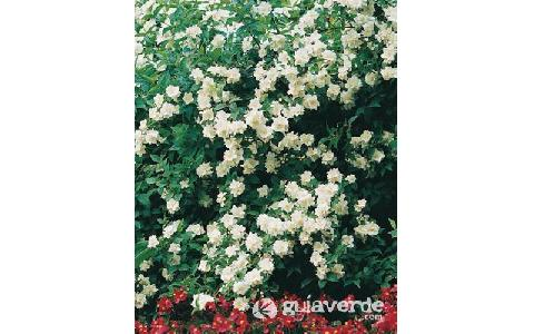 Sweet Mock-orange, English Dogwood-Philadelphus coronarius