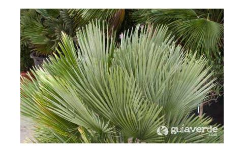 Chamaerops humilis palmito margall n margall palma enana palmito europeo d tiles de - Escobas de palma ...