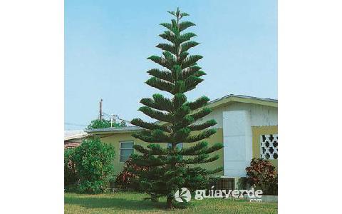 Araucaria excelsa pino de norfolk pino de pisos for Tipos de arboles y caracteristicas