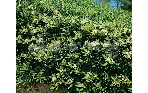 -Pittosporum tobira