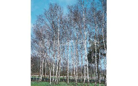 Betula pendula abedul blanco abedul com n - Abedul blanco ...