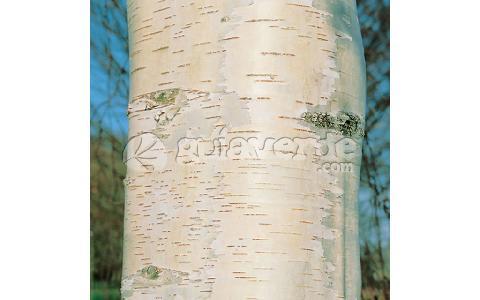 Betula pendula abedul blanco abedul com n for Viveros fuenteamarga
