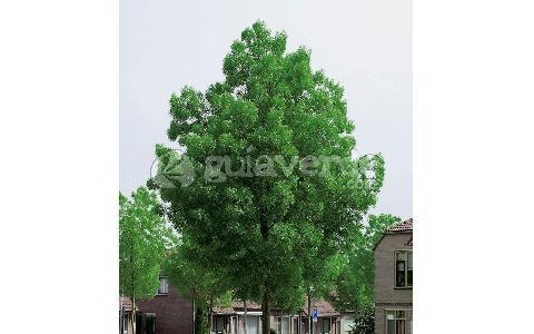 Fraxinus angustifolia freixo comum freixo de folhas for Viveros fuenteamarga