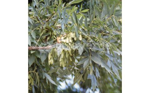 Fraxinus angustifolia fresno de hoja estrecha for Viveros fuenteamarga