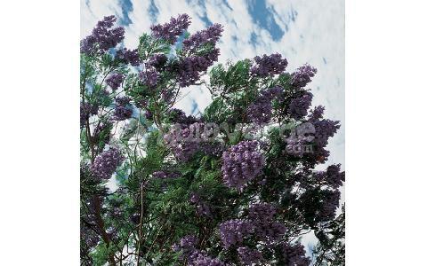 Jacaranda mimosifolia jacaranda for Planta ornamental jacaranda