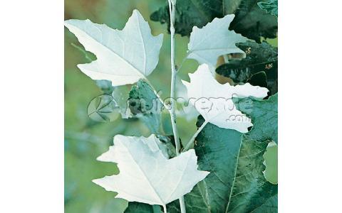Populus alba lamo branco choupo branco faia branca for Viveros fuenteamarga