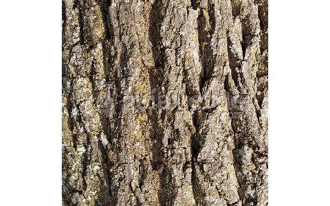 Salix alba salgueiro branco sinceiro vimeiro branco for Viveros fuenteamarga