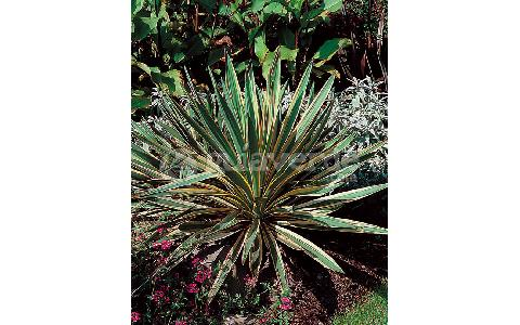 yucca gloriosa 39 variegata 39 yuca de jard n variegada. Black Bedroom Furniture Sets. Home Design Ideas
