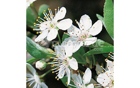 plum-Prunus domestica