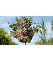 Prunus serrulata kanzan viveros s nchez for Viveros sanchez